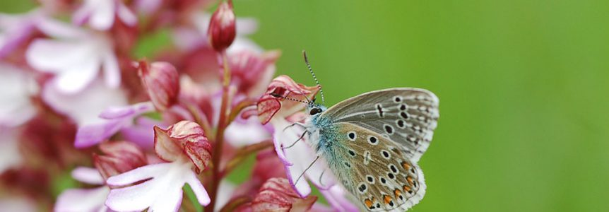 cpie-Argus bleu celeste - P. bellargus- inventaire naturaliste